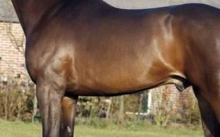 Голландская теплокровная лошадь: описание породы, использование, разведение, содержание и уход