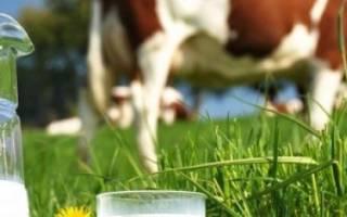 Когда корова дает молоко первый раз?