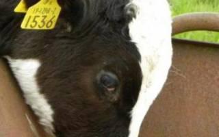 Остановка желудка у теленка: симптомы и как его запустить?