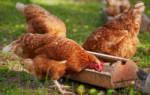 Куриная ферма: открытие, сроки окупаемости, организация сбыта