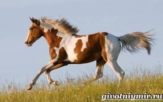 Пегая масть у лошадей: описание и породы