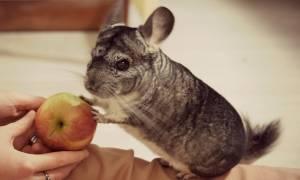 Что едят шиншиллы — режим дня и питания, прикорм