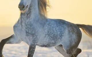 Орловская рысистая порода лошадей: история, описание, особенности содержания орловского рысака