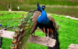 Летают ли павлины: особенности поведения и интересные факты