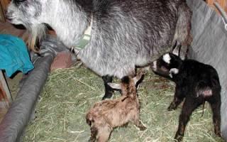 Кормление козлят с первых дней жизни: таблица и видео