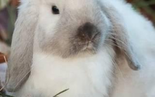 Сиамский кролик: описание породы