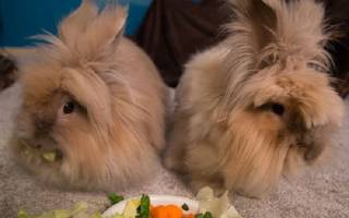 Что едят декоративные кролики в домашних условиях?