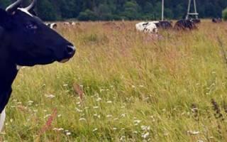 Холмогорская порода коров: характеристика, особенности