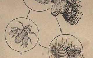 Эстроз овец: симптомы и лечение