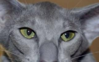 Кошка ориентальной породы: фото, характер, цена, уход