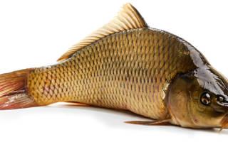 Рыба морской фазан: характеристика и описание, польза и вред