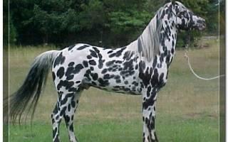 Чубарая масть лошади: описание и фото