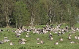 Особенности кормления гусей