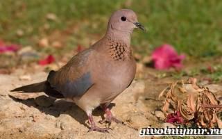 Горлинка – все о характере птиц, а также их содержании и разведении!