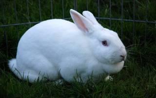 Вздутие живота у кроликов: причины и лечение