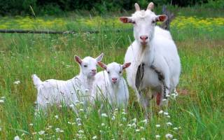 Как определить беременность козы — признаки, срок беременности