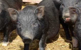 Загон для свиней своими руками