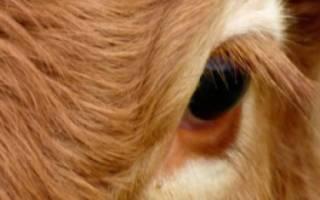 Бельмо на глазу у коровы: причины и лечение