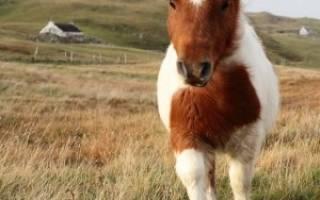 Кони — пони: содержание, уход, правила кормления