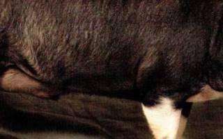 Беркширская порода свиней: описание и характеристика