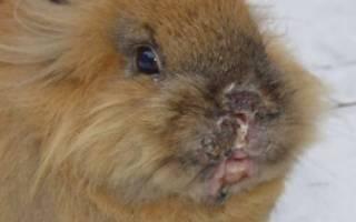 Инфекционный стоматит у кроликов: симптомы и лечение