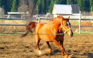 Латвийская упряжная порода лошадей: происхождение, описание, применение