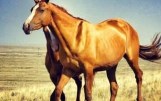 Калмыцкая порода лошадей: происхождение, характеристика, достоинства