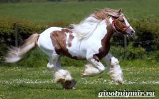 Порода лошадей шайр, английский тяжеловоз: описание, использование, особенности ухода