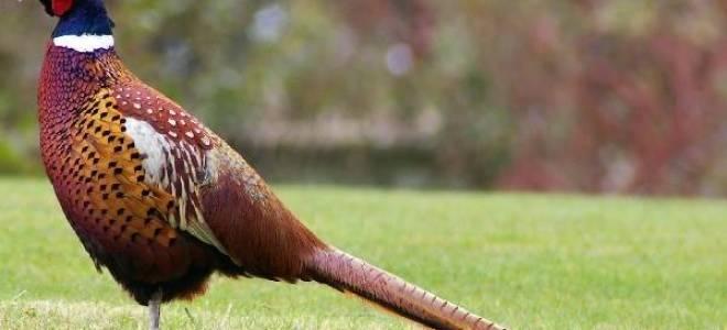 Обыкновенный фазан — разновидности и особенности содержания