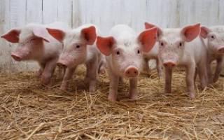 Бизнес-план свинофермы: этапы реализации