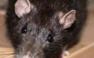 Как избавиться от крыс в свинарнике: все способы