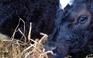 Почему теленок или корова кашляет: что делать и чем лечить