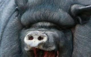 Вьетнамская вислобрюхая свинья: описание породы, разведение и уход