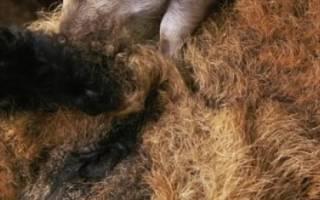 Сальные породы свиней: характеристика, виды