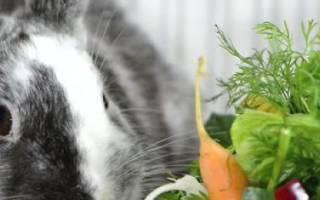 Почему у кролика красная моча?