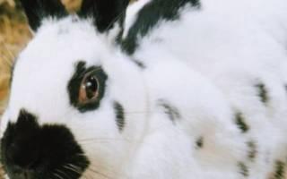 Черно-белый кролик (Датская порода): описание и характеристика