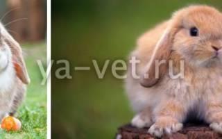 Лишай у кроликов: симптомы и лечение