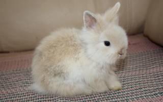 Лисий карликовый кролик — особенности породы, содержание и уход