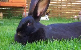 Черно-бурый кролик — содержание, кормление, разведение, особенности породы