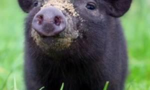 Вес вьетнамских поросят по месяцам, чем кормить свиней, когда забивать?