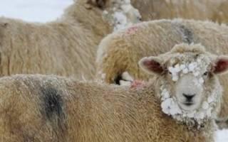 Содержание и кормление овец в зимний период