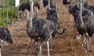 Разведение страусов в домашних условиях: особенности содержания