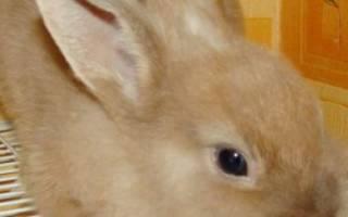 Кролик породы белка: описание и характеристики