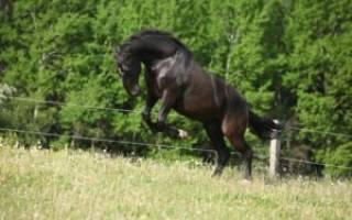 Кладрубская горбоносая порода лошадей: история, описание, разведение и уход