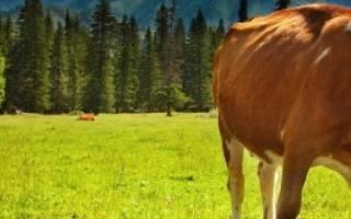 Как правильно пасти коров?