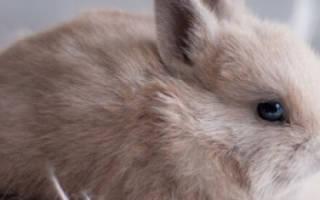 Серый кролик: описание и характеристика