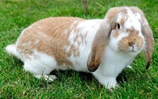 Кролик — баран: особенности вида и условия содержания