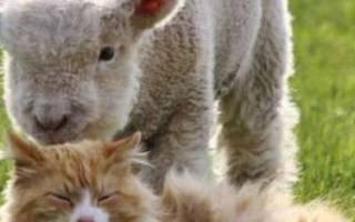 Карликовые овцы: их содержание и описание