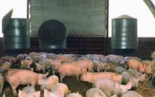 Канадская технология выращивания и содержания свиней
