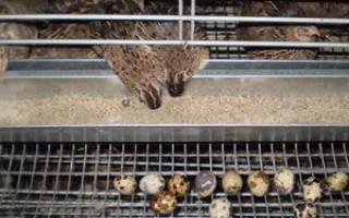 Чем кормить перепелов в домашних условиях — рацион перепелов